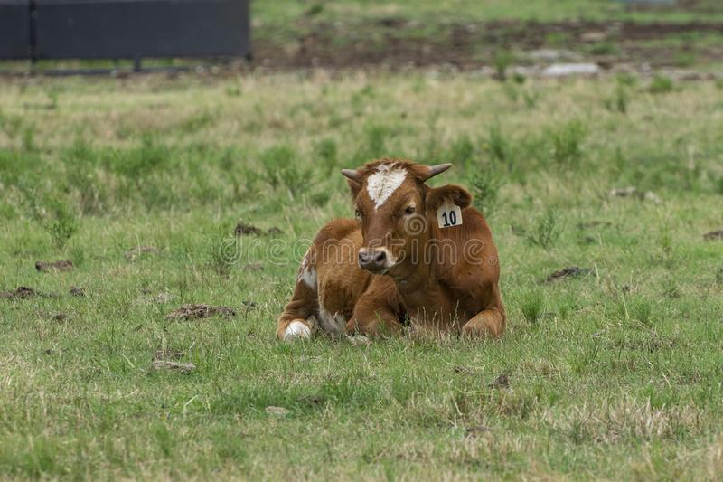 Ung brun och vit kalv med att slå ut horn som vilar i gräs royaltyfri fotografi
