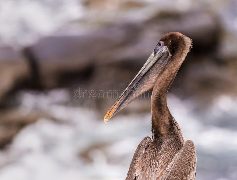 Ung brun pelikan som sätta sig på Rocky Shore fotografering för bildbyråer