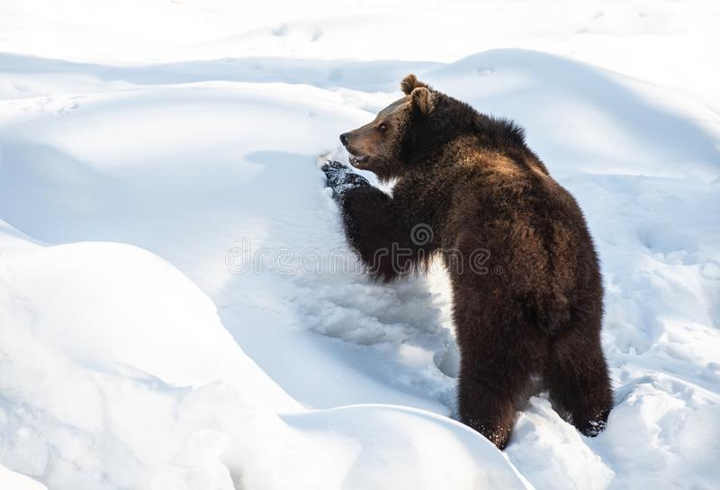 Ung brunbjörn som spelar i den insnöade vintern - bayersk skog för nationalpark royaltyfria bilder
