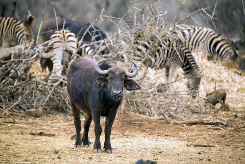 Ung buffel som står den near sebraflocken royaltyfri foto