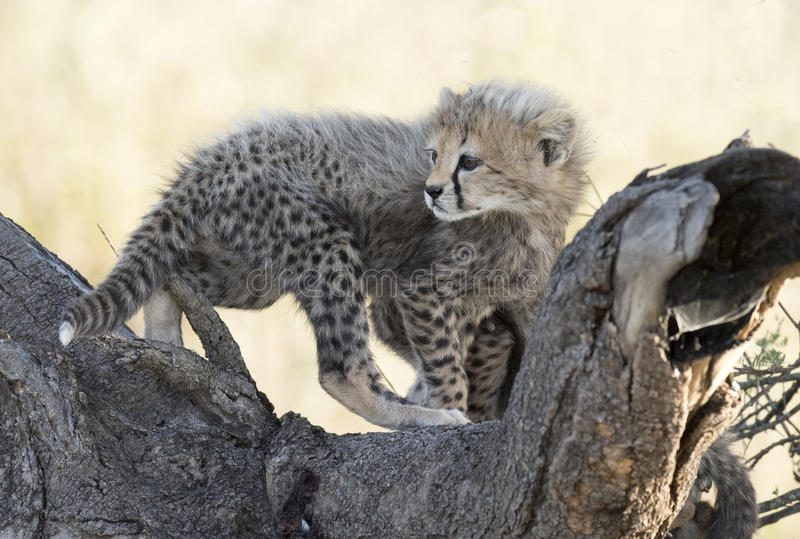 Ung cheetahgröngöling royaltyfria foton