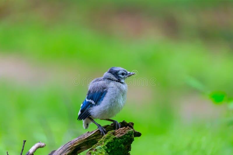 Ung Cyanocittacristata för blå nötskrika i skogen royaltyfri foto