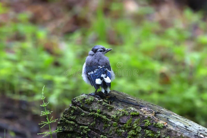 Ung Cyanocittacristata för blå nötskrika i skogen royaltyfri bild