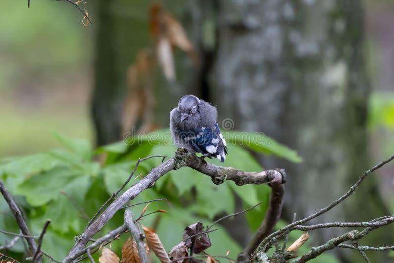 Ung Cyanocittacristata för blå nötskrika i skogen arkivfoton