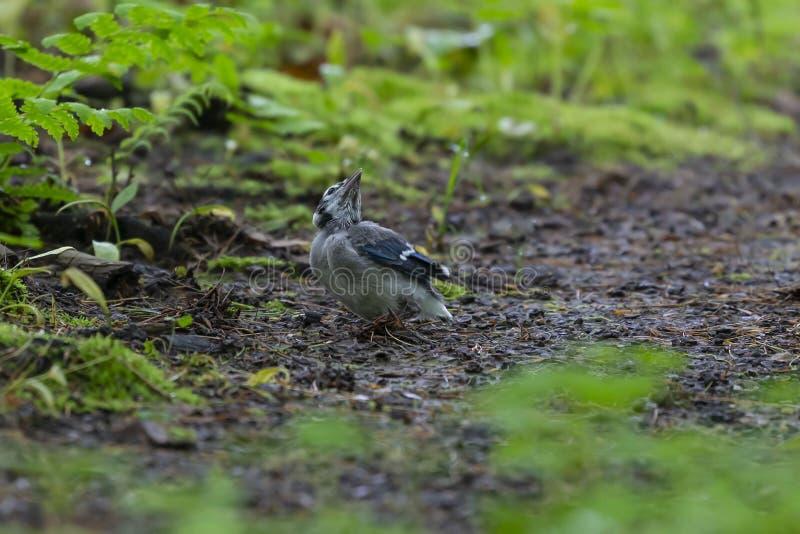 Ung Cyanocittacristata för blå nötskrika i skogen arkivbilder