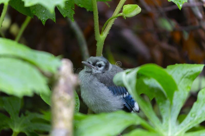 Ung Cyanocittacristata för blå nötskrika i skogen royaltyfria foton