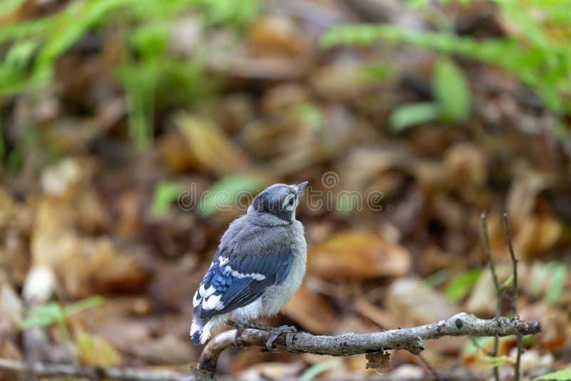 Ung Cyanocittacristata för blå nötskrika i skogen arkivbild