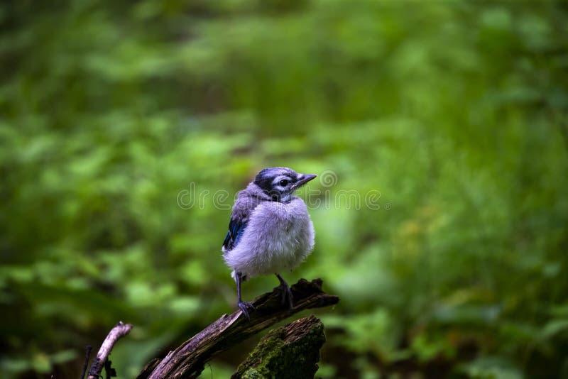 Ung Cyanocittacristata för blå nötskrika i skogen royaltyfria bilder
