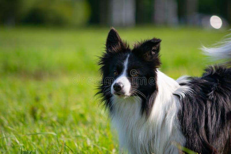 Ung driftig hund på en gå Gränsa collien royaltyfri foto