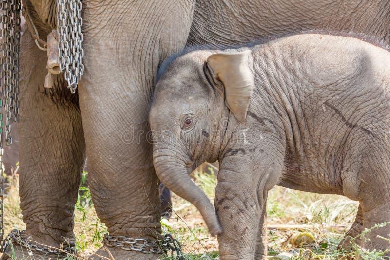 Ung elefant arkivfoton