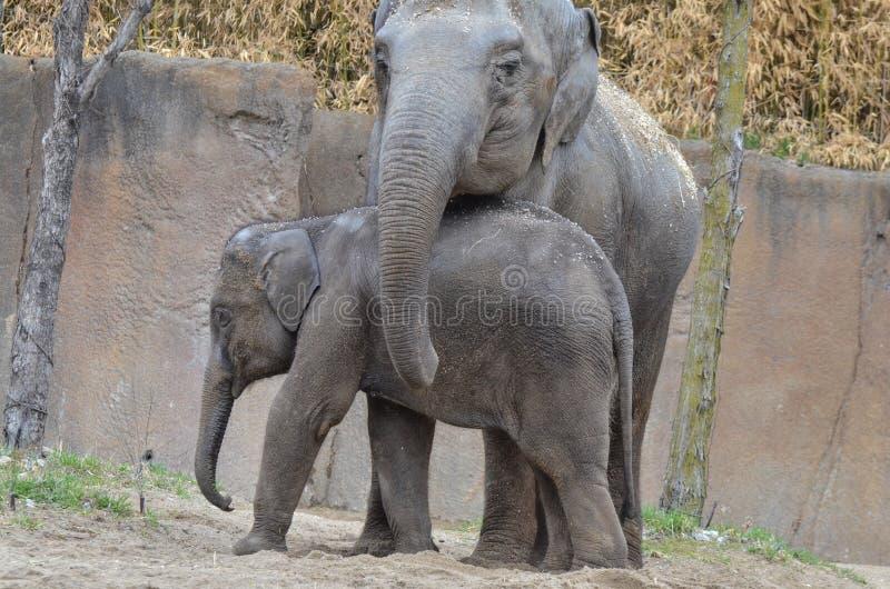 Ung elefant och moder 6 royaltyfri fotografi