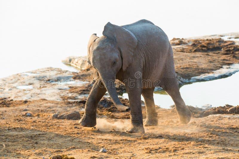 Ung elefantdans royaltyfria bilder