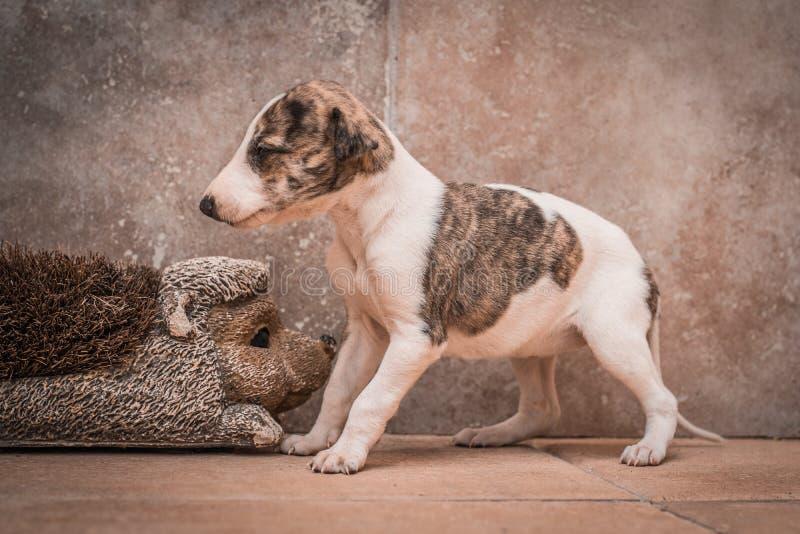 Ung en-månad-gammal spansk vinthundvalp arkivfoton