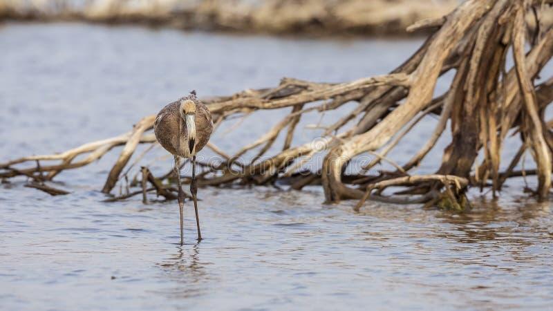Ung flamingo arkivbilder