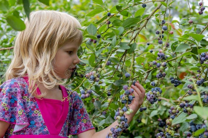 Ung flickaplockningblåbär 01 royaltyfria bilder