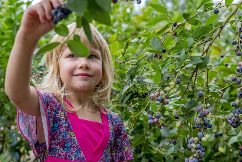Ung flickaplockningblåbär 01 royaltyfri fotografi
