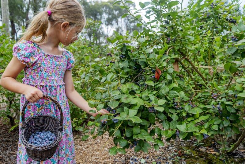 Ung flickaplockningblåbär 03 royaltyfria foton