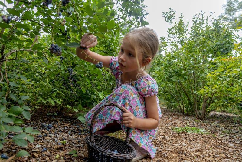 Ung flickaplockningblåbär 01 fotografering för bildbyråer