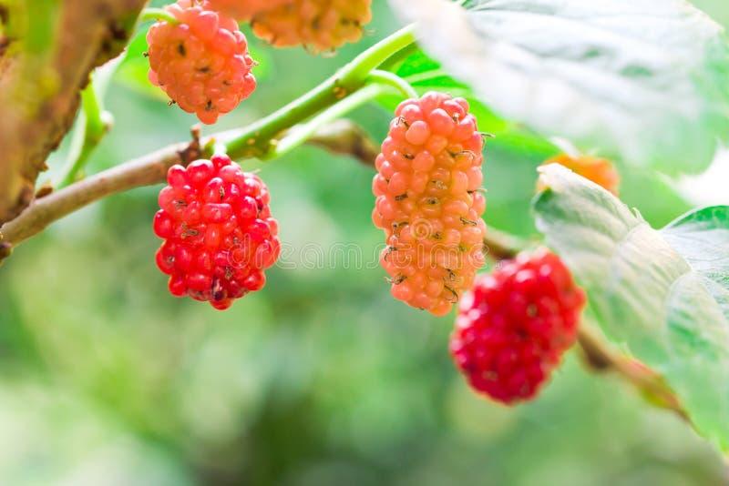 Ung frukt för röd mullbärsträd på träd royaltyfri bild