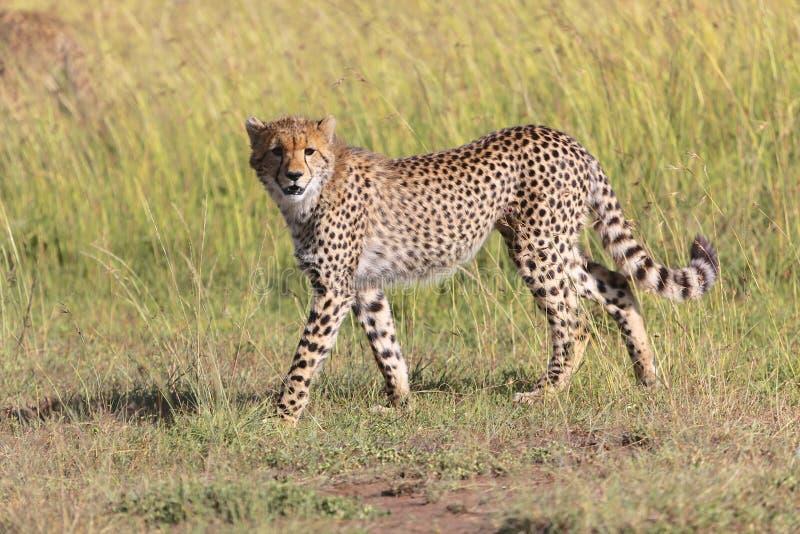 Ung gepard på masaien mara arkivbilder