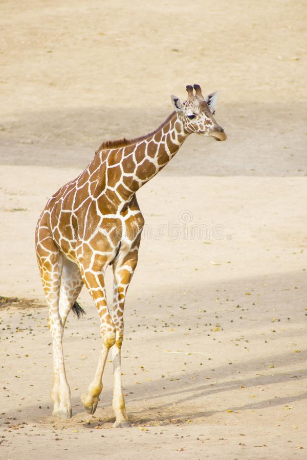 Ung giraff Gå för giraff royaltyfria bilder