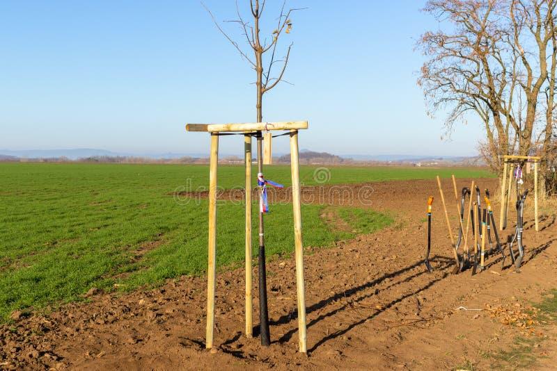 Ung gränd för lövfällande träd som planteras precis i bygd Skyffel t royaltyfria bilder