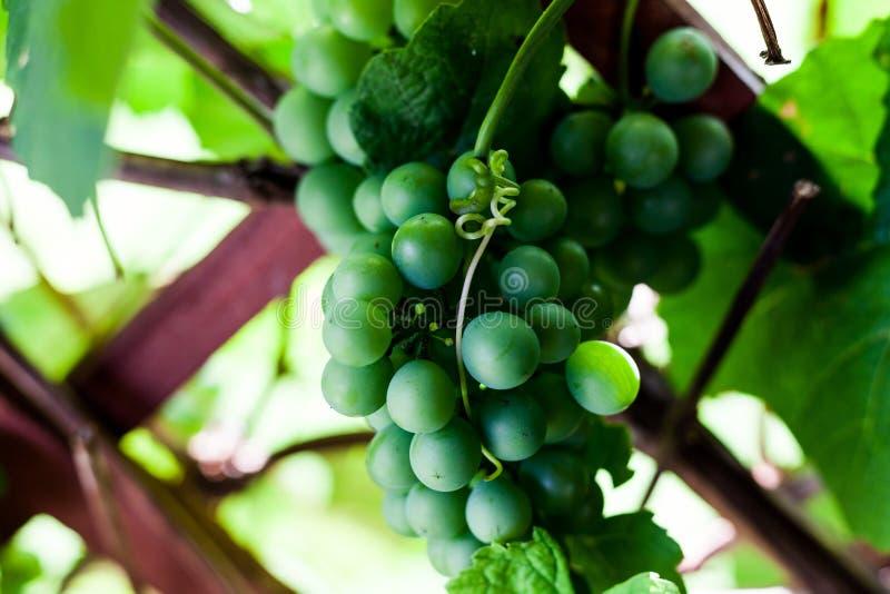 Ung grön druva i vingården Läcker druva som hänger i vingården Inhemsk produktion av druvan och vinrankan arkivfoto