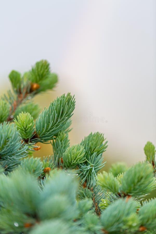 Ung grön granträdfilial i vårtid i trädgården Suddig härlig bakgrund för natur Ett alltför grunt djup av fältet arkivbild