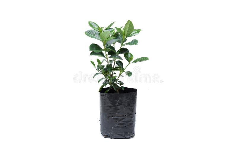 Ung grön växt i en tillbaka plastpåse royaltyfri foto