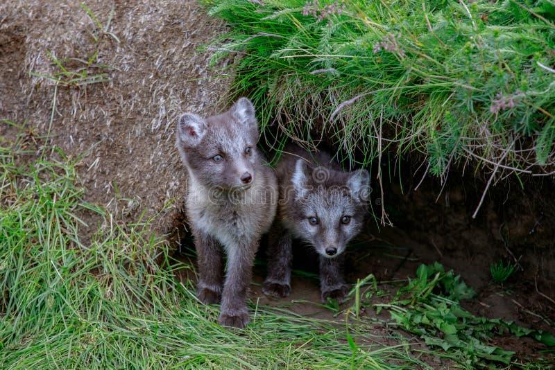 Ung gröngöling för arktisk räv två royaltyfri bild