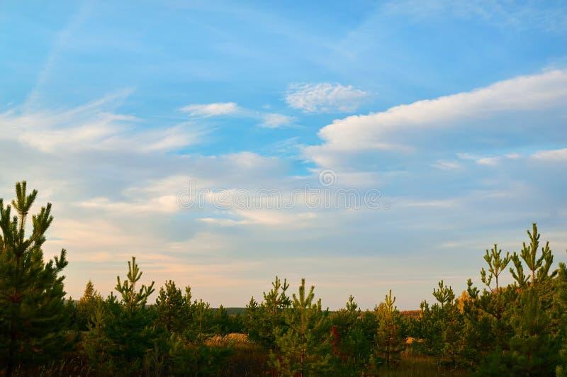 Ung gran, pinjeskog mot den blåa himlen med moln Natur landskap royaltyfri fotografi