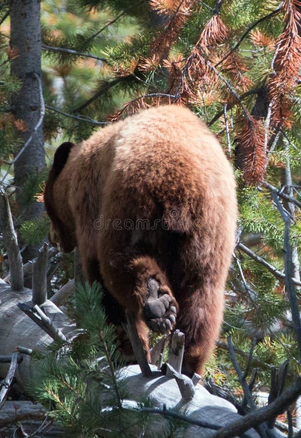 Ung grisslybjörngalt som går på den inloggningsYellowstone nationalparken i Wyoming USA arkivfoton