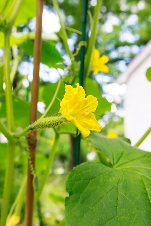 Ung gurka med blommor i en trädgård royaltyfri foto