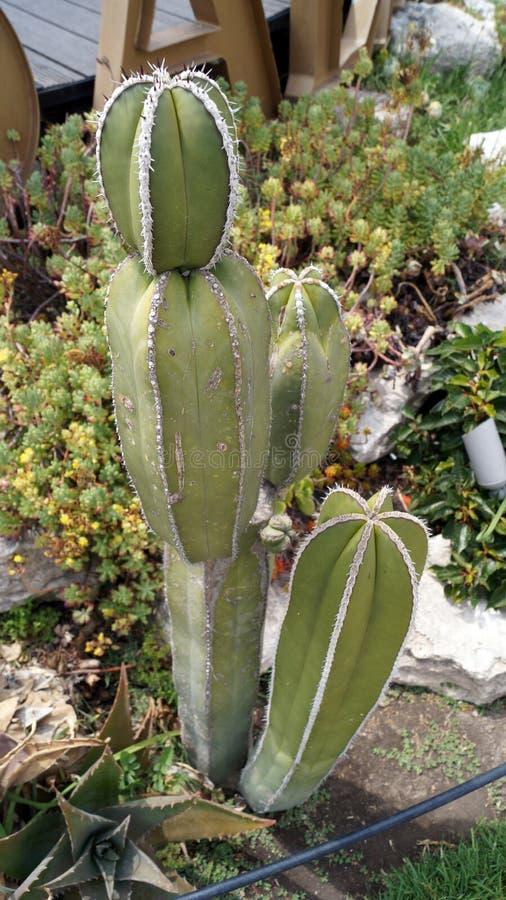 Ung högväxt kaktus som växer i öknen royaltyfri bild