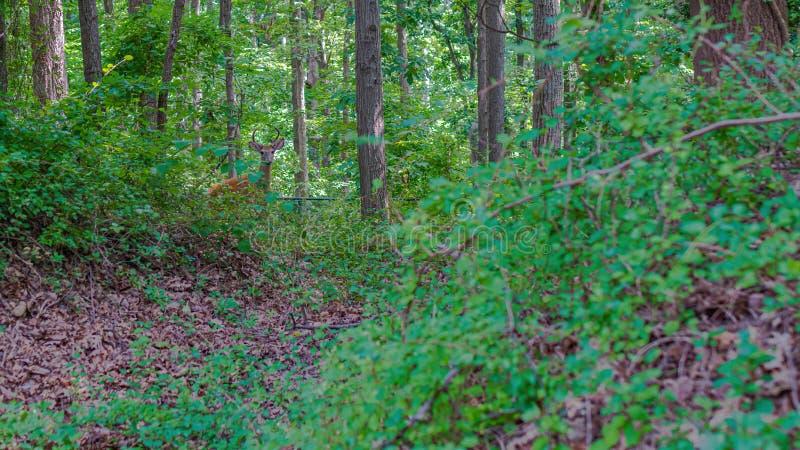 Ung hjortBuck Washington DC arkivbilder