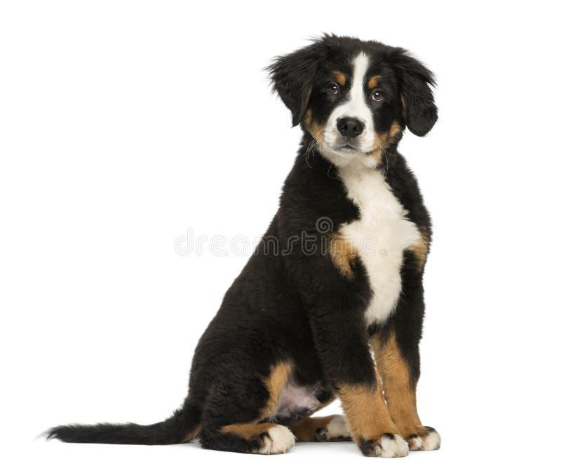 Ung hund för Bernese berg, 3,5 gamla månader fotografering för bildbyråer