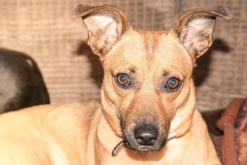 Ung hund - gullig brun valp som sitter på en soffa arkivbild