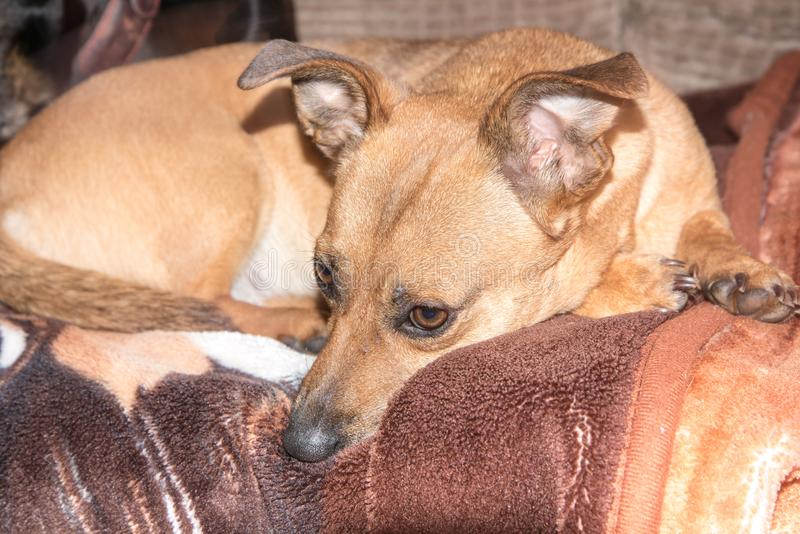 Ung hund - gullig brun valp som sitter p? en soffa royaltyfria bilder