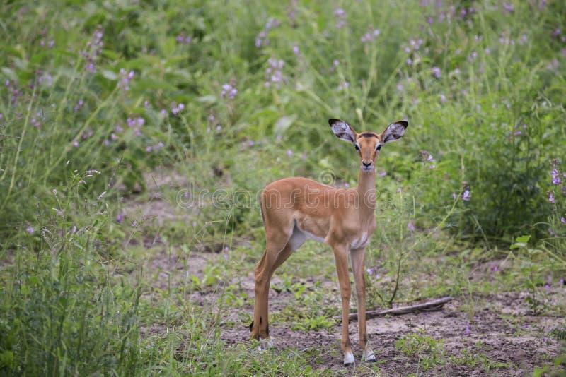 Ung impala som ut ser med suddig bakgrund royaltyfri fotografi