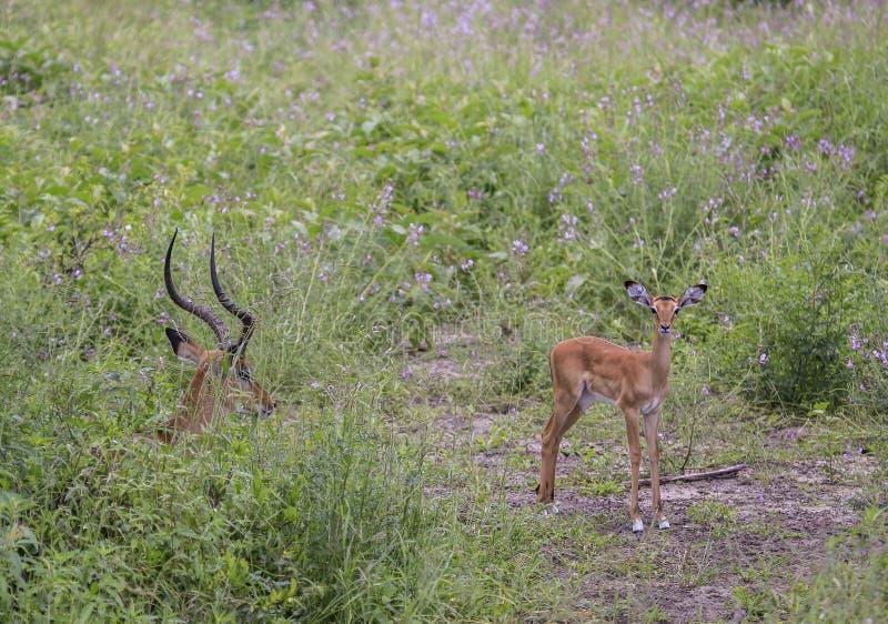 Ung impala som ut ser med vuxet sammanträde i gräs med suddig bakgrund fotografering för bildbyråer