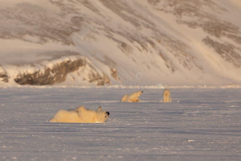 Ung isbjörn, Ursusmaritimus som ligger ner rulla över på isen, modern och sieblingen i bakgrunden svalbard arkivbild