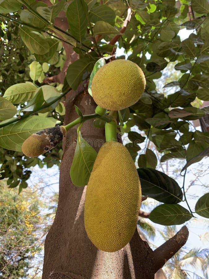 Ung Jackfruit som växer på ett träd arkivfoto