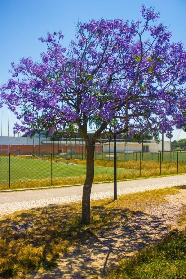 Ung jakaranda i blomman på universitetstadion, Lissabon royaltyfria foton