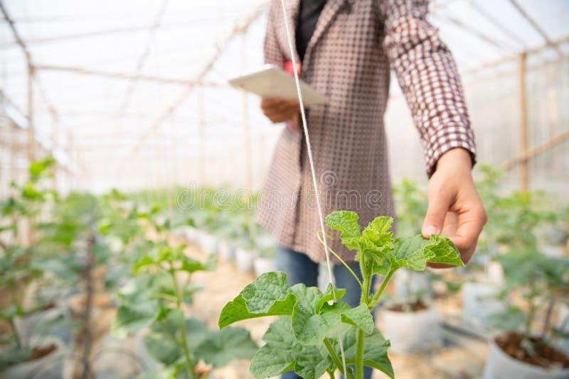 Ung jordbruks- enginner som ett slags studerar nytt v?xa f?r melon arkivbild