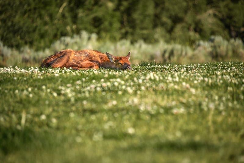 Ung kalv som vilar, medan hon väntar på hennes moder att gå tillbaka royaltyfri foto
