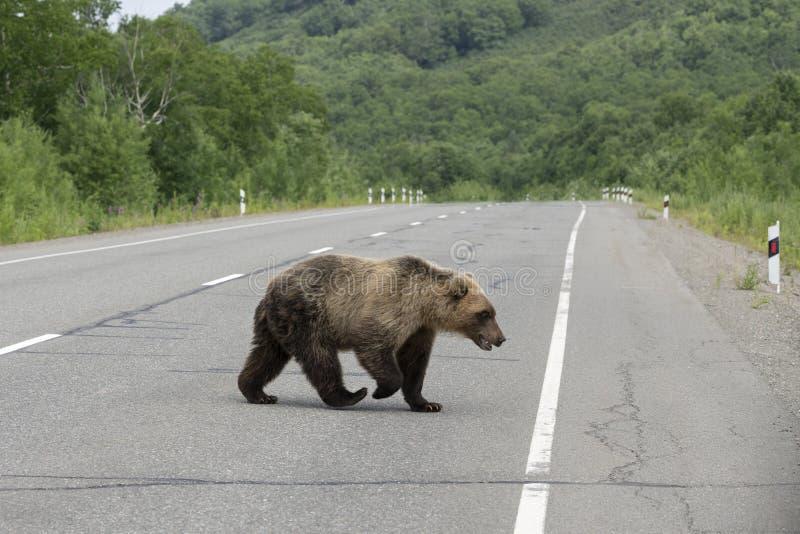 Ung Kamchatka brunbjörn som promenerar en asfaltväg arkivbild