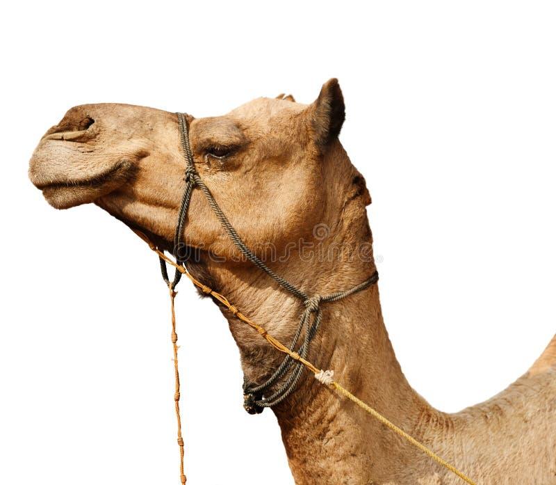 Ung kamel som isoleras på vit bakgrund arkivbilder