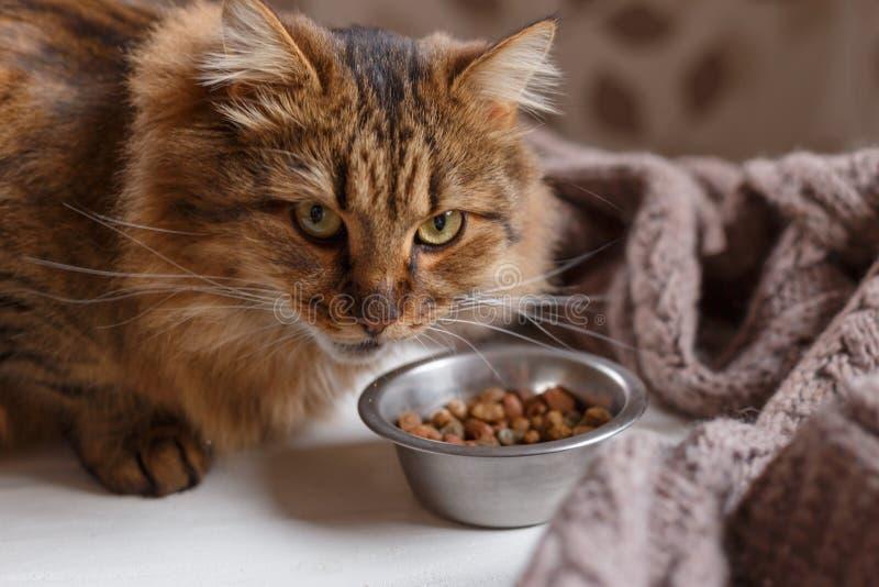 Ung katt, når att ha ätit mat från en platta royaltyfri foto