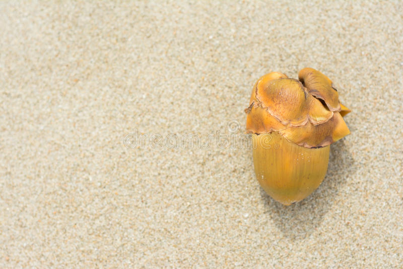 Ung kokosnöt på sand royaltyfria foton
