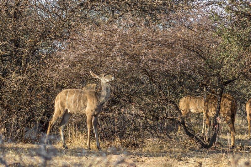 Ung Kudu tacka under det taggiga Bushveld trädet royaltyfri foto
